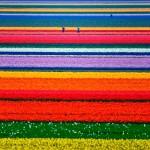 Тюльпановые поля в окрестностях голландского Алкмаара