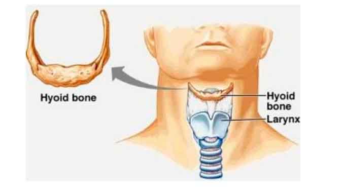 Расположение подъязычной кости и гортани у современного человека