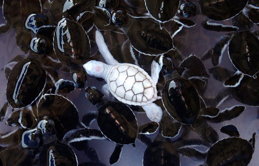 Детеныш черепахи - альбинос
